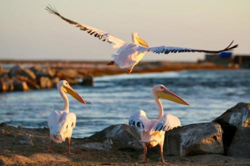 Great White-backed Pelicans captured during trip to Namibia.